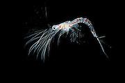 [captive] Deep-water decapod (Sergestes larva, decapod crustacean) | Die Frisur sitzt... - auch in 3000 Metern Wassertiefe. Die Krebslarve aus der Gattung Sergestes hat fein verästelte Antennen, die das Schweben in der freien Wassersäule ermöglichen. Ausgewachsene Sergestes-Krebse sind in der Lage, durch schwache Biolumineszenz (selbst produziertes Licht)an der Körperunterseite einen Schattenwurf im Dämmerlicht zu verhindern und sich somit vor den unter ihnen lauernden Fressfeinden zu tarnen. Die Intensität ihres Leuchtens wird dabei an die aktuell von oben einfallende Lichtmenge angepasst.