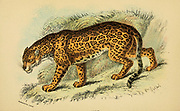 jaguar (Panthera onca Here As Felis onca) From the book ' A handbook to the carnivora : part 1 : cats, civets, and mongooses ' by Richard Lydekker, 1849-1915 Published in 1896 in London by E. Lloyd