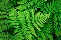 Common Oak Fern, Northern Oak Fern (Gymnocarpium dryopteris)