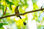 The turquoise-browed motmot (Eumomota superciliosa) also known as Torogoz, This bird is found in the rain forests of Mexico, Central and South America, Trinidad and Tobago. It is omnivorous, feeding on insects, lizards, and fruit. Photographed in Costa Rica. This bird is the  the national bird of both El Salvador and Nicaragua