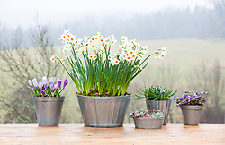 Collection of zinc containers. Narcissus 'Cragford' with Muscari 'Valerie Finnis', crocus, sedums and anemones