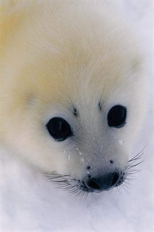 Harp Seal pup, Phoca groenladica,  White sea,  Russia, Arctic