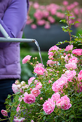 Watering a container of roses with a watering can. Rosa 'Hilda Ogden'
