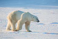 01874-13604 Polar Bear (Ursus maritimus)  Churchill Wildlife Management Area, Churchill, MB