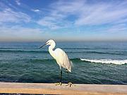 Egretta garzetta - Little Egret, Photographed in Israel in December