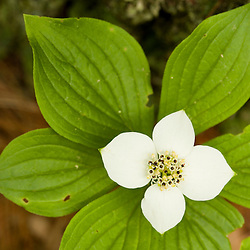 A bunchberry in bloom, Cornus canadensis, near Marquoit Bay in Brunswick, Maine.