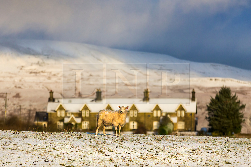 © Licensed to London News Pictures. 28/01/2020. Ribblehead UK. A sheep stands in a field of snow at day break this morning in shadow of the snow covered Whernside mountain in the Yorkshire Dales. Photo credit: Andrew McCaren/LNP