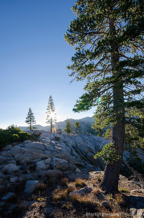 Sun and pine trees, Carson-Iceberg Wilderness, Stanislaus National Forest, California