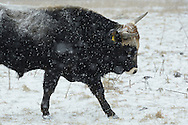Tauros bull, Bos taurus, Tauros/Aurochs breeding site run by The Taurus Foundation, Keent Nature Reserve, The Netherlands
