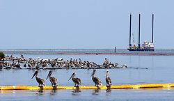 23 July 2010. Queen Bess Island near Grand Isle, Louisiana. <br /> Has mother nature naturally cleaned up the oil spill with human help? Young immature pelicans rest on boom at Queen Bess island near Grand Isle. In what would appear to be good news for the area, the pelicans and boom are relatively clean. A sweep through Barataria bay uncovered only two oiled pelicans. No tar balls or oil were seen in the water. Many of the marsh grasses appeared to be growing back. Perhaps the area is witnessing the beginning of the end of the disaster from BP's massive oil spill in the Gulf of Mexico? It will be many years before the long term effects of the spill are known and a tropical storm or hurricane could still bring large slicks of oil ashore. For now though, the situation looks relatively good.<br /> Photo credit; Charlie Varley/varleypix.com
