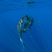Whale shark (Rhincodon typus), rear view with surface reflection and a shoal of rainbow runners (Elagatis bipinnulata), Honda Bay, Palawan, the Philippines, Sulu Sea. Rainbow runner are the commonest large fish that can frequently be seen accompanying the whale sharks in Honda Bay.