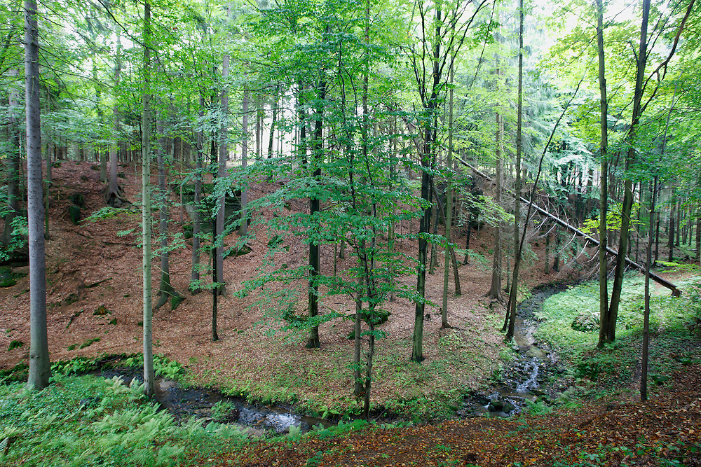 Forest  CESKE SVYCARSKO. CZECH REPUBLIC.