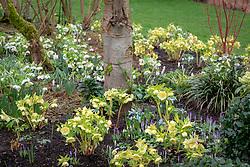 Helleborus x hybridus Ashwood Garden hybrids planted with snowdrops, crocus, cornus and Iris reticulata in John Massey's garden at Ashwood Nurseries