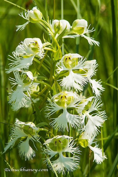 The Rare Western Prairie Fringed Orchid in the Sheyenne National Grasslands, North Dakota, USA