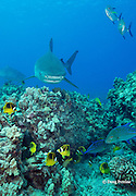 tiger sharks, Galeocerdo cuvier, swim over coral reef with bluefin trevally or omilu, Caranx melampygus, racoon butterflyfish, threadfin butterflyfish, and other reef fish, Honokohau, Kona, Big Island, Hawaii, USA ( Central Pacific Ocean )