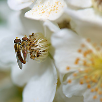 Pair of hover flies mating on wild raspberry flowers. Backyard spring nature in New Jersey. Image taken with a Nikon D2xs camera and 105 mm f/2.8 VR macro lens (ISO 100, 105 mm, f/11, 1/60 sec).