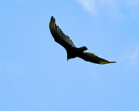 Turkey Vulture soaring. Image taken with a Fuji X-T2 camera and 100-400 mm OIS lens (ISO 200, 400 mm, f/11, 1/1600 sec).