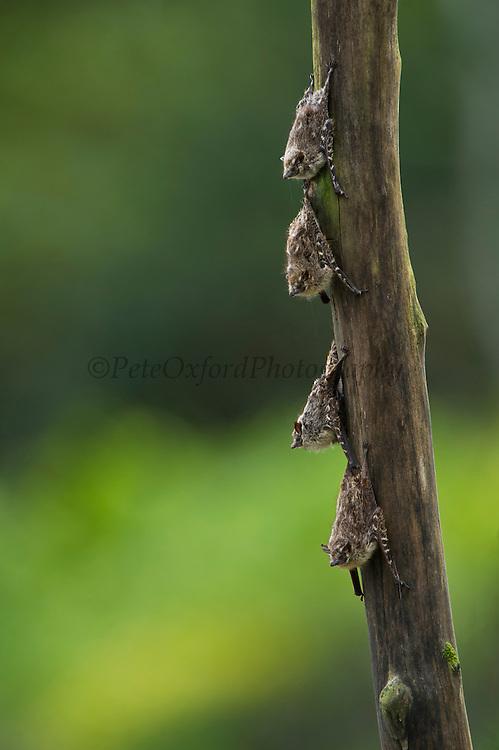 Long-nosed Bat (Rhynchonycteris naso)<br /> Yasuni National Park, Amazon Rainforest<br /> ECUADOR. South America<br /> HABITAT & RANGE: Mexico south to northern Bolivia.