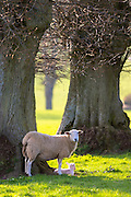 Sheep - ewe with lamb, Ovis aries, near Naunton in The Cotswolds, Gloucestershire, UK