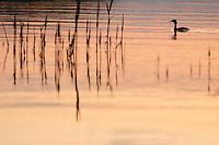 Grat Crested Grebe (Podiceps cristatus) in the Danube Delta, Romania. May 2009 <br /> Mission: Danube Delta