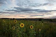 Field of sunflowers at sunset near Kilburn, North Yorkshire, England, UK.