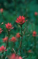 Common red paintbrush (Castilleja miniata), Banff National Park, Alberta, Canada Photo: Peter Llewellyn
