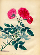 ROSA Provincialis, nana. Dwarf Province Rose From the book Roses, or, A monograph of the genus Rosa : containing coloured figures of all the known species and beautiful varieties, drawn, engraved, described, and coloured, from living plants. by Andrews, Henry Charles, Published in London : printed by R. Taylor and Co. ; 1805.