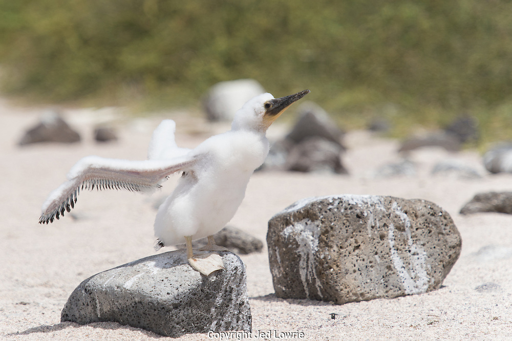 This baby Blue Footed Booby is strengthening its wings without leaving the ground.  Just the act of flapping its wings will develop the muscle memory it will need to sustain flight.  In addition, it will loose its plumage during this time.