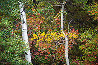 Early Fall colors begin to show among the aspen and maple trees in the high mountains around Snowbasin in Northern Utah.