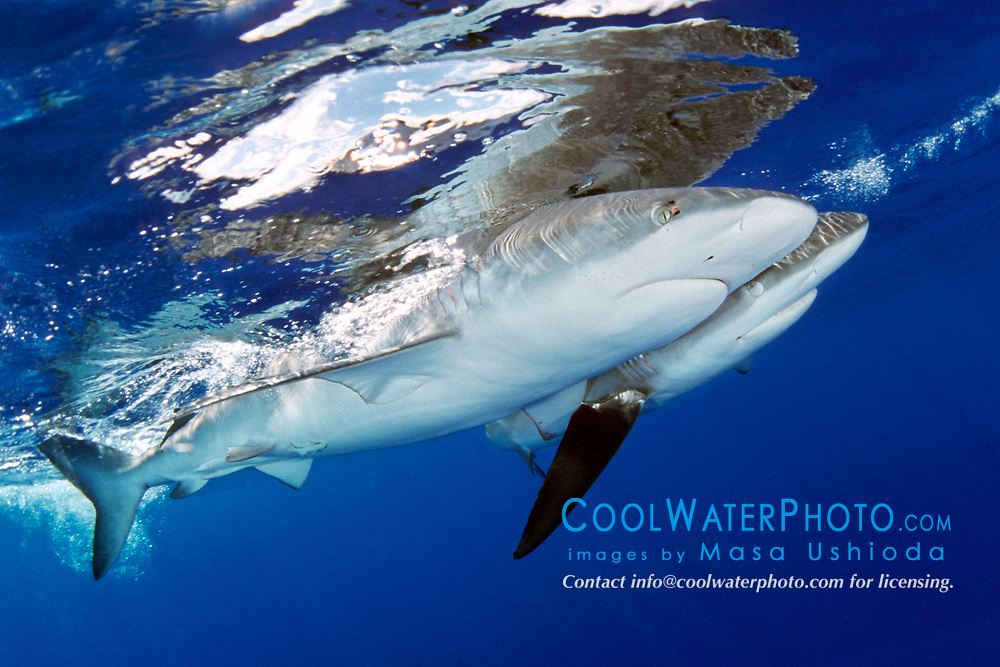 divers in cage and Galapagos sharks, Carcharhinus galapagensis, North Shore, Oahu, Hawaii, Pacific Ocean