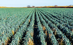 Field of Leeks in East Lothian, Scotland, United Kingdom