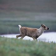 Barren Ground Caribou, (Rangifer arcticus) Calf. Porcupine herd. Arctic National Wildlife Refuge. ANWR. Alaska.