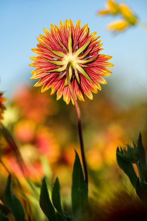 Indian blanket flower, native Texas wildflower, Johnson City, Texas