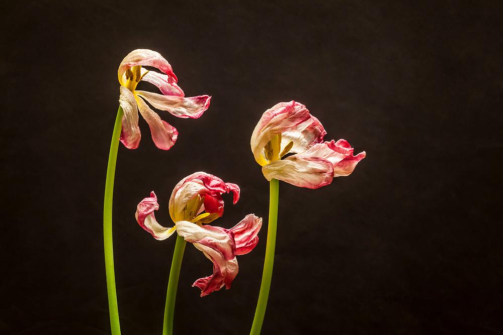 Tulip flowers in decline shot in studio.