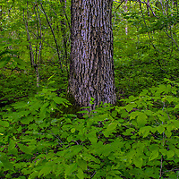 Lush forest in the Missouri Ozarks