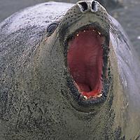 ANTARCTICA. Elephant seal (Mirounga leonina), covered in beach sand, bellows to warn off intruder, King George Island.