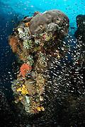 Rich reef with stone coral, tunicates, Bryozoa and Reeffish. Raja Ampat, West Papua, Indonesia, Pacific Ocean | Unterschiedliche Korallen, Schwämme, Moostierchen, Manteltiere und Fische befinden sich auf diesem etwa 2m hohen Korallenstück. Die Farbenvielfalt verrät es: Raja Ampat in Indonesien ist eine der artenreichsten Regionen im Meer. (Indonesien)
