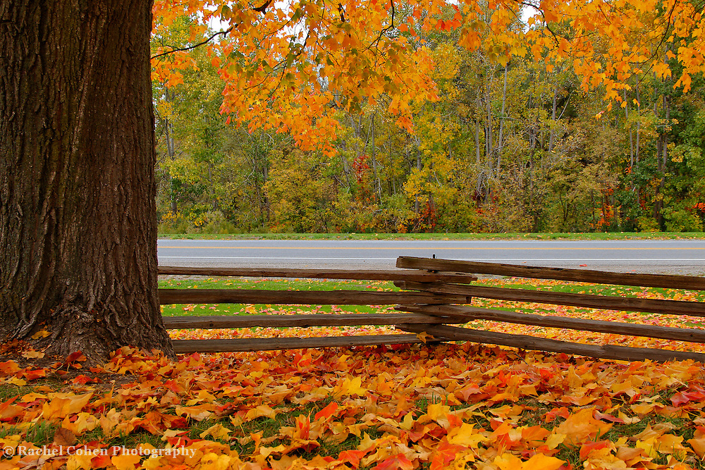 """""""Within this Fence""""<br /> <br /> Ah, the joys of autumn! A lovely and huge maple tree with golden leaves both on the ground, and still hanging from the branches. A beautiful wooden fence running alongside the quiet rural road bringing more character to the scene!!<br /> <br /> Autumn Landscapes by Rachel Cohen"""