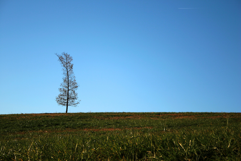 Tree in a field of green grass with blue sky background outside Charlottesville Virginia.