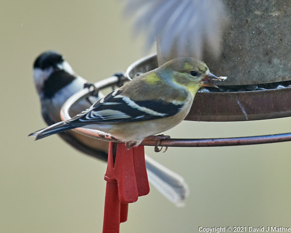 Black-capped Chickadee (Poecile atricapillus), American Goldfinch (Spinus tristis). Image taken with a Nikon D5 camera and 600 mm f/4 VR lens.