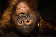 View looking down at a juvenile orangutan ( Pongo pygmaeus ) laying on his back on a wooden dock, Borneo, Indonesia