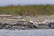 A large group of harbor seals (Phoca vitulina), including many young pups, rest on the beach of Protection Island National Wildlife Refuge near Port Townsend, Washington. Protection Island, located at the mouth of Discovery Bay in the Strait of Juan de Fuca, is a 364-acre island that serves as pupping grounds for hundreds of harbor seals as well as a summer home for 72 percent of the seabirds that nest in the Puget Sound area.