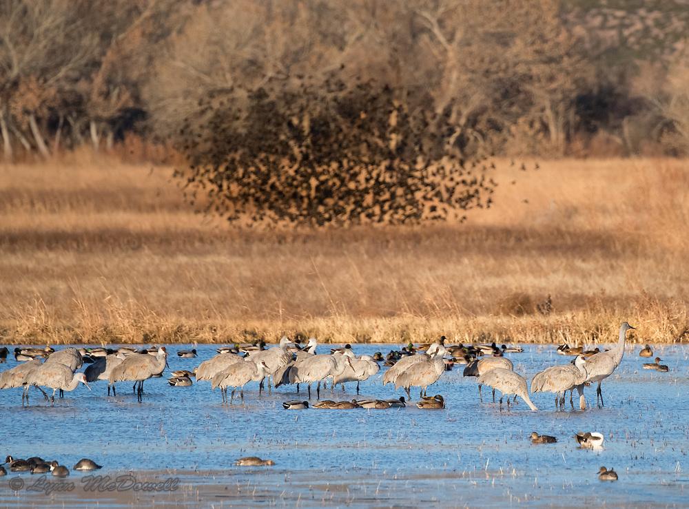 Flock of blackbirds rising from the marsh at Bombay Hook