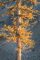 Subalpine Larches (Larix lyallii) in golden autumn color. Stiletto Lake, North Cascades Washington