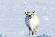 Standing out on the arctic tundra of Svalbard and looking at the camera,  a male Svalbard reindeer (Rangifer tarandus platyrhynchus) is the smallest sub-species endemic to the Svalbard Islands, Svalbard, Norway