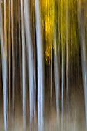 Autumn colors in Arizona's Aspen forest Autumn color in the Aspens forests of Northern Arizona