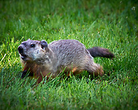 Angry Groundhog. I kept filling in the hole it was trying to build right next to my house. Image taken with a Nikon D300 camera and 80-400 mm VR lens (ISO 400, 400 mm, f/8, 1/125 sec). Raw image processed with Capture One Pro, Focus Magic, and Photoshop CC.