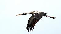 Wood Stork in Flight. Black Point Wildlife Drive in Merritt Island Wildlife Refuge, Florida. Image taken with a Nikon D3s and 500 mm f/4 VR lens (ISO 1000, 500 mm, f/5.6, 1/640 sec).