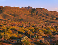 CADDV_056 - USA, California, Death Valley National Park, Sunset warms brittlebush (Encelia farinosa) and green hills (from record winter rains) in Virgin Spring Canyon.