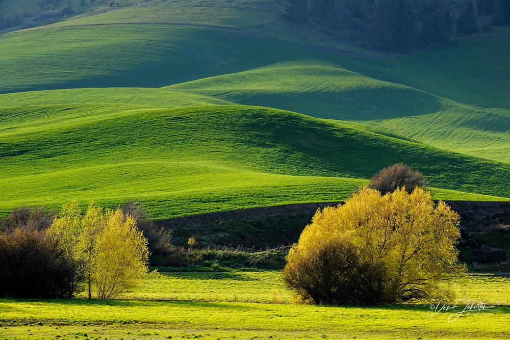 Palouse country farmland with willows in spring, near Colfax, Washington, USA